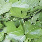 桑の葉の効能効果と副作用は?糖尿病や高血圧予防、便秘や美肌美髪に!